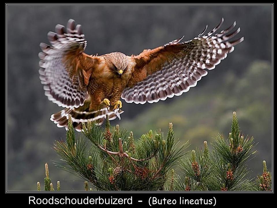 Ruigpootbuizerd - (Buteo lagopus)