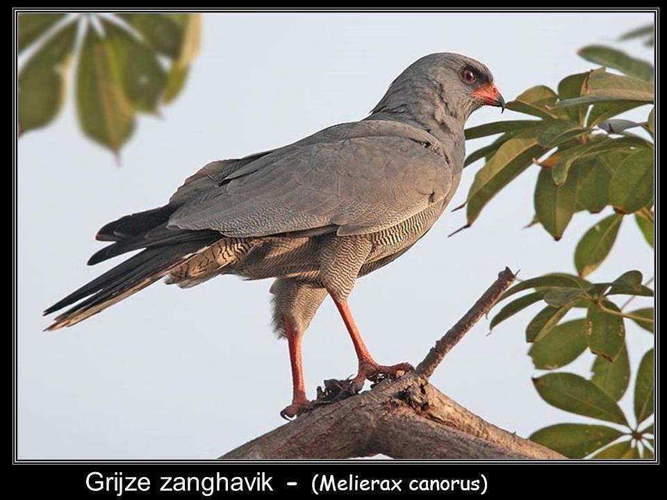Afrikaanse havik - (Accipiter tachiro)