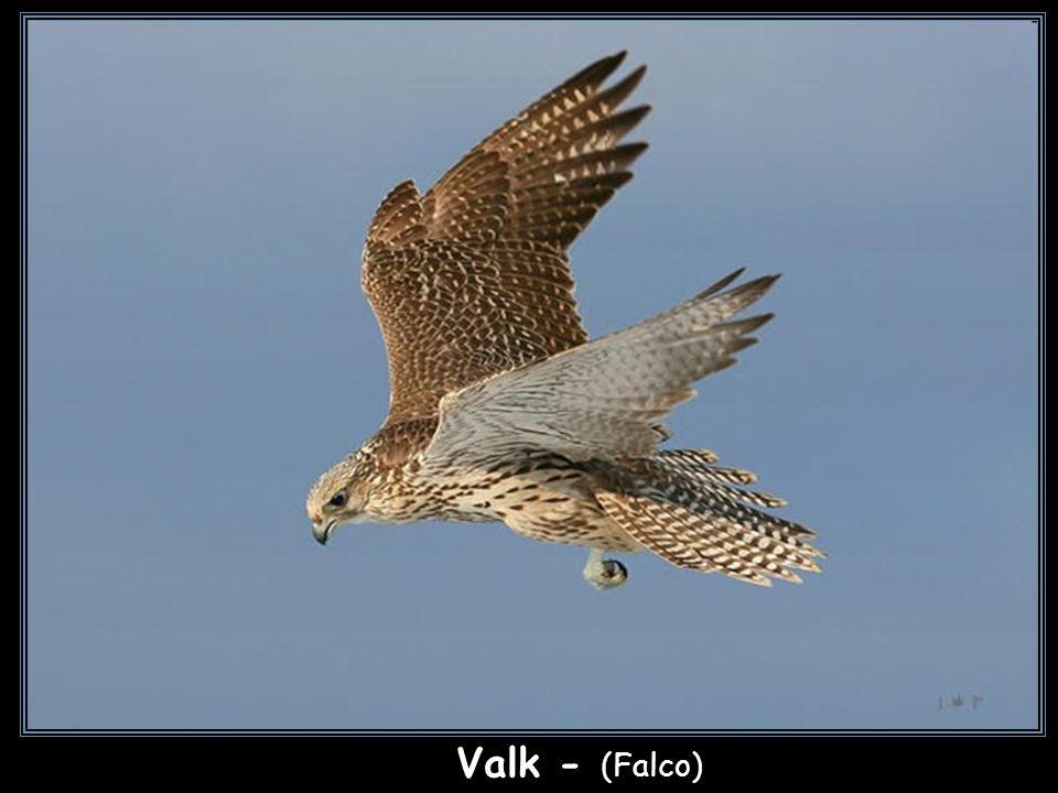 Amerikaanse torenvalk - (Falco sparverius)