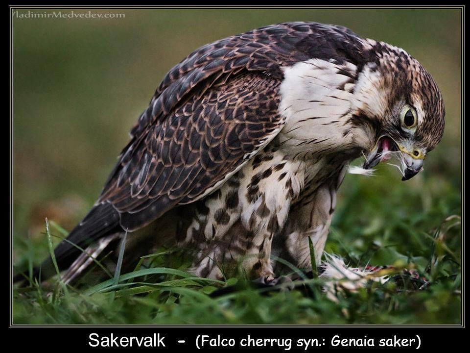 Slechtvalk - (Falco peregrinus)