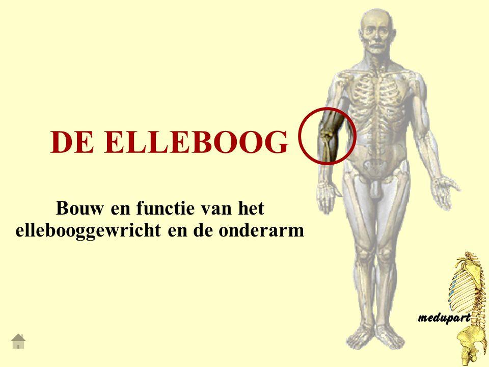 DE ELLEBOOG Bouw en functie van het ellebooggewricht en de onderarm