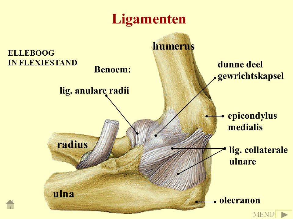 Ligamenten ELLEBOOG IN FLEXIESTAND ulna radius humerus lig. anulare radii dunne deel gewrichtskapsel epicondylus medialis lig. collaterale ulnare olec