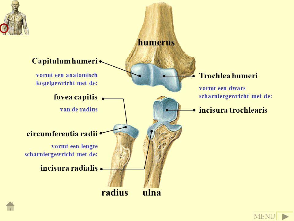 humerus radiusulna Trochlea humeri vormt een dwars scharniergewricht met de: incisura trochlearis Capitulum humeri vormt een anatomisch kogelgewricht met de: fovea capitis van de radius circumferentia radii vormt een lengte scharniergewricht met de: incisura radialis MENU