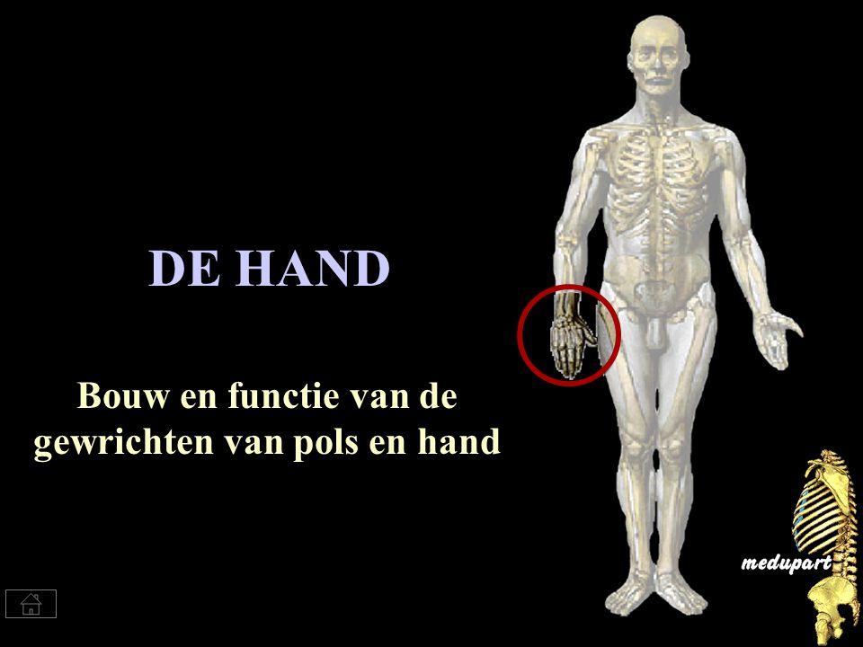 Via deze button kun je telkens terug naar dit menu Menu van pols en hand gewrichten Botstructuren pols Gewrichten van pols en hand, overzicht Carpale tunnel Bewegingen van de hand Ligamenten Vingergewrichten Duimgewrichten Bewegingen van de duim Bewegingsrem MENU