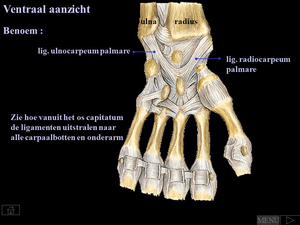 ulnaradius Ventraal aanzicht Zie hoe vanuit het os capitatum de ligamenten uitstralen naar alle carpaalbotten en onderarm lig.