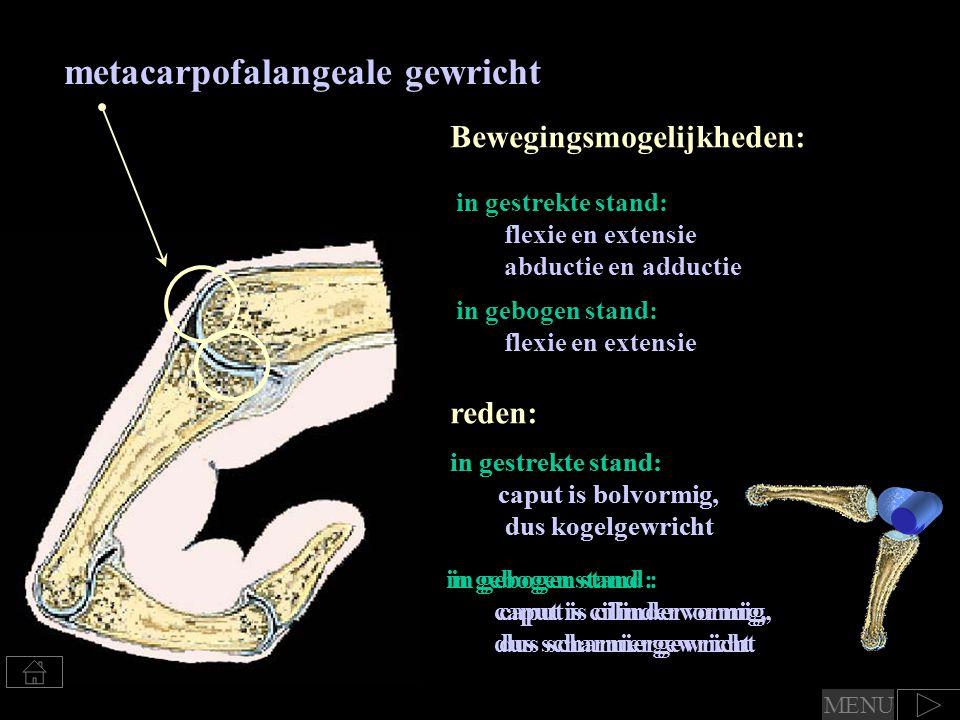 in gebogen stand : caput is cilindervormig, dus scharniergewricht in gestrekte stand: caput is bolvormig, dus kogelgewricht in gebogen stand : caput is cilindervormig, dus scharniergewricht metacarpofalangeale gewricht Bewegingsmogelijkheden: in gebogen stand: flexie en extensie in gestrekte stand: flexie en extensie abductie en adductie reden: in gestrekte stand: caput is bolvormig, dus kogelgewricht MENU