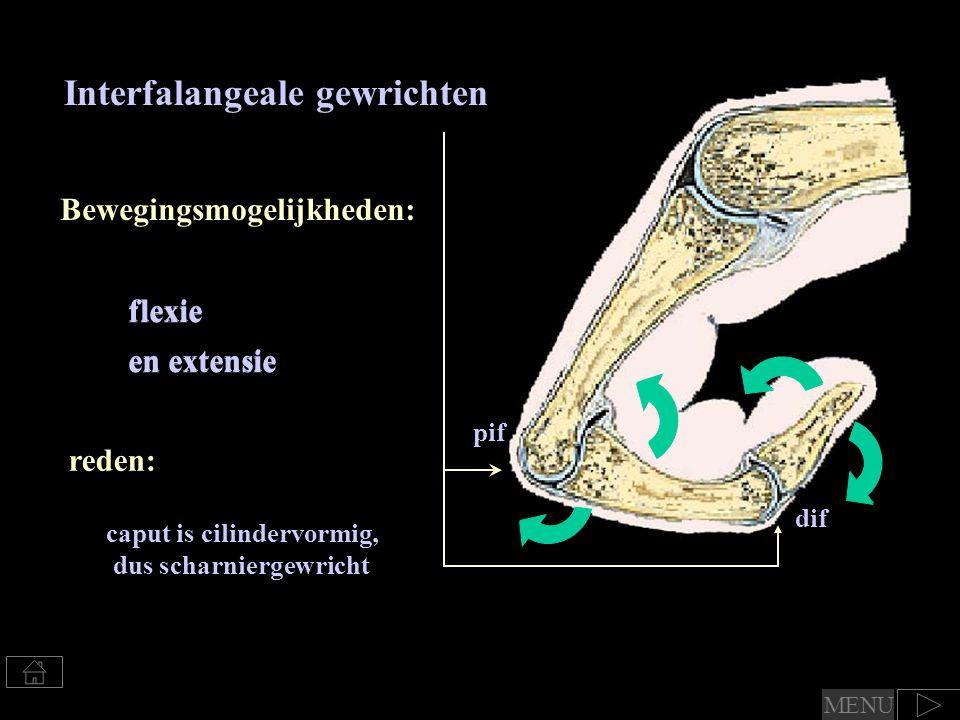 Interfalangeale gewrichten Bewegingsmogelijkheden: caput is cilindervormig, dus scharniergewricht flexie en extensie reden: flexie en extensie pif dif