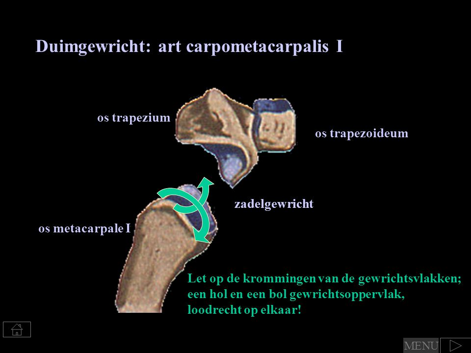 Duimgewricht: art carpometacarpalis I os trapezium os metacarpale I Let op de krommingen van de gewrichtsvlakken; een hol en een bol gewrichtsoppervlak, loodrecht op elkaar.
