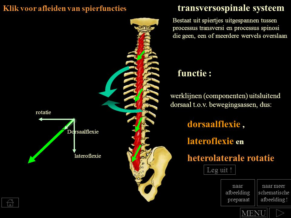 dorsaalflexie, Klik voor afleiden van spierfuncties transversospinale systeem werklijnen (componenten) uitsluitend dorsaal t.o.v. bewegingsassen, dus: