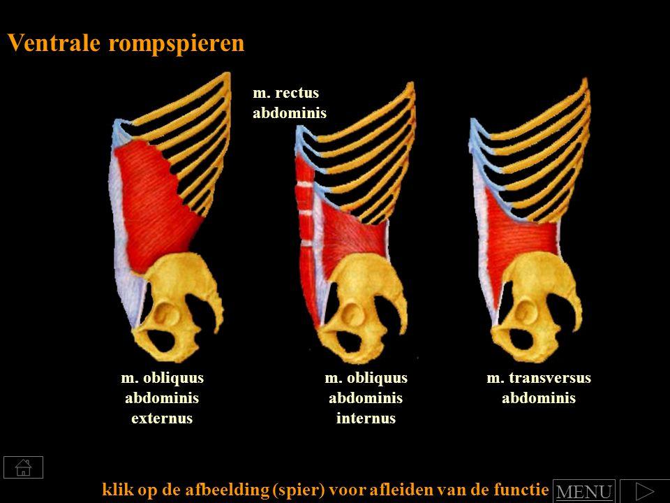 m. transversus abdominis m. rectus abdominis m. obliquus abdominis externus Ventrale rompspieren klik op de afbeelding (spier) voor afleiden van de fu