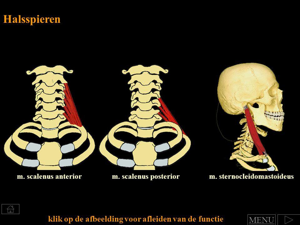 m. scalenus anterior Halsspieren klik op de afbeelding voor afleiden van de functie m. scalenus posteriorm. sternocleidomastoideus MENU