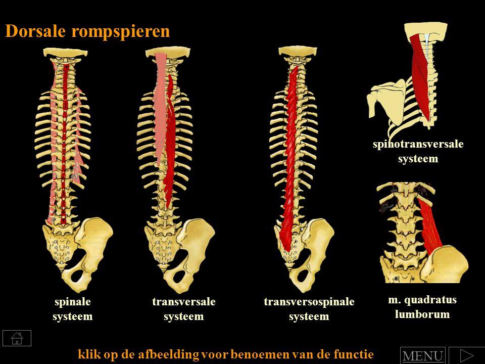 Dorsale rompspieren klik op de afbeelding voor benoemen van de functie transversospinale systeem transversale systeem spinale systeem m. quadratus lum