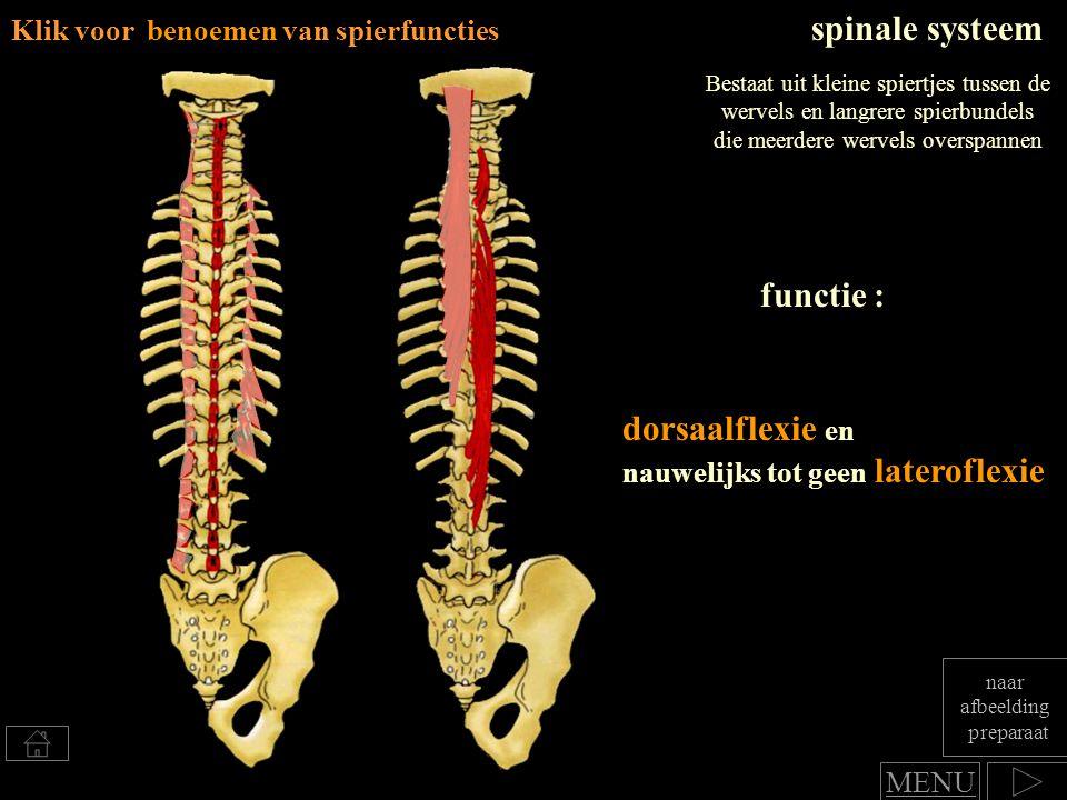 dorsaalflexie en nauwelijks tot geen lateroflexie functie : spinale systeem Bestaat uit kleine spiertjes tussen de wervels en langrere spierbundels di