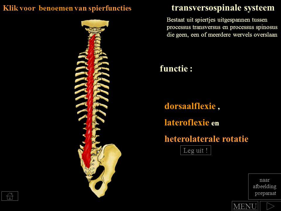 dorsaalflexie, Klik voor benoemen van spierfuncties transversospinale systeem lateroflexie en functie : Bestaat uit spiertjes uitgespannen tussen proc