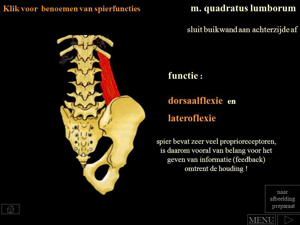 functie : lateroflexie m. quadratus lumborum dorsaalflexie en spier bevat zeer veel proprioreceptoren, is daarom vooral van belang voor het geven van