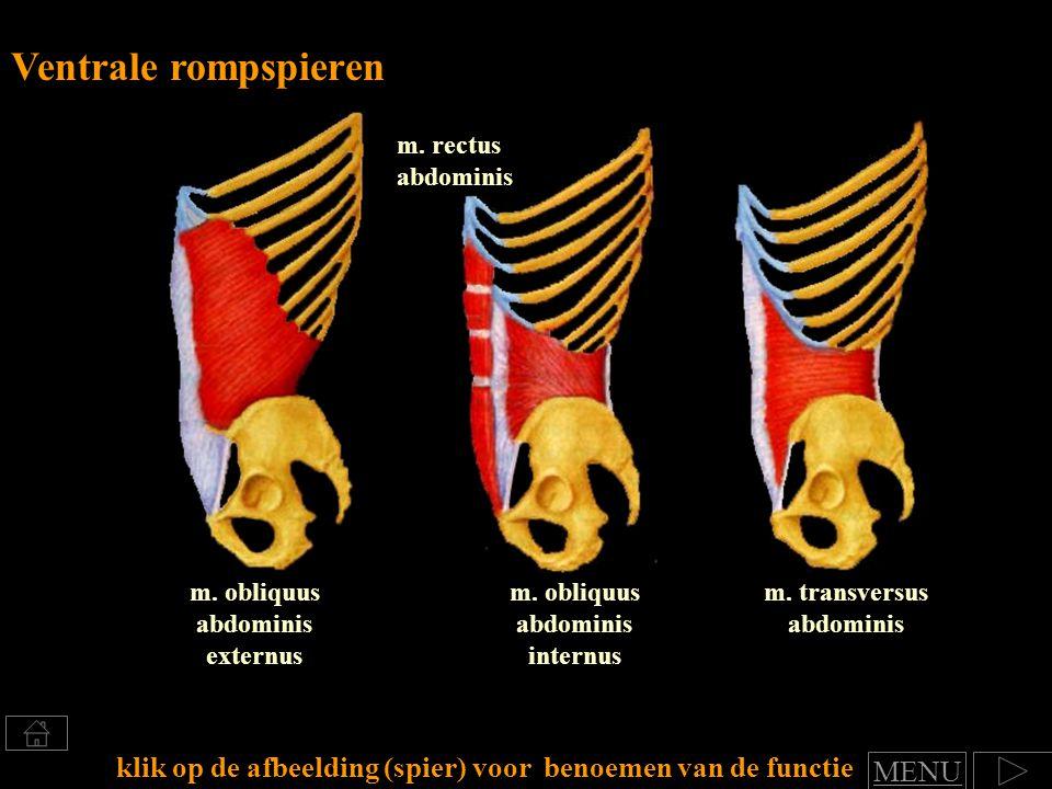 m. transversus abdominis m. rectus abdominis m. obliquus abdominis externus Ventrale rompspieren klik op de afbeelding (spier) voor benoemen van de fu