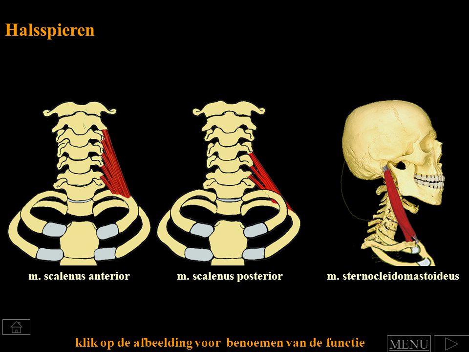 m. scalenus anterior Halsspieren klik op de afbeelding voor benoemen van de functie m. scalenus posteriorm. sternocleidomastoideus MENU