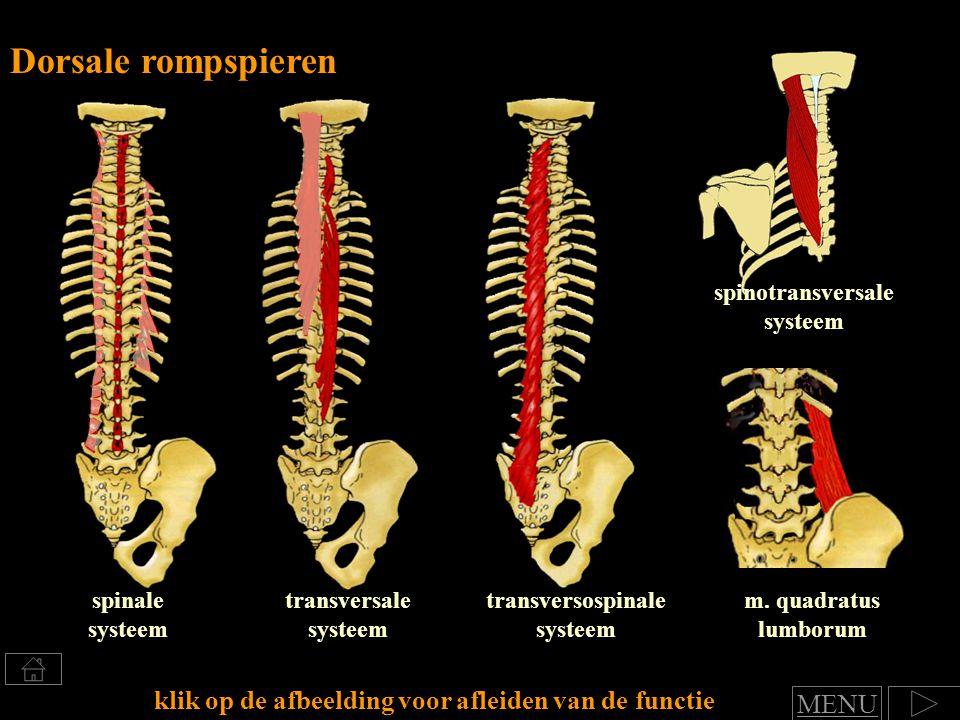 dorsaalflexie en lateroflexie (inter) transversale systeem Bestaat uit vele kleinere en langere spierbundels tussen en langs de processus spinosi en de ribben functie: Klik voor benoemen van spierfuncties naar afbeelding preparaat MENU