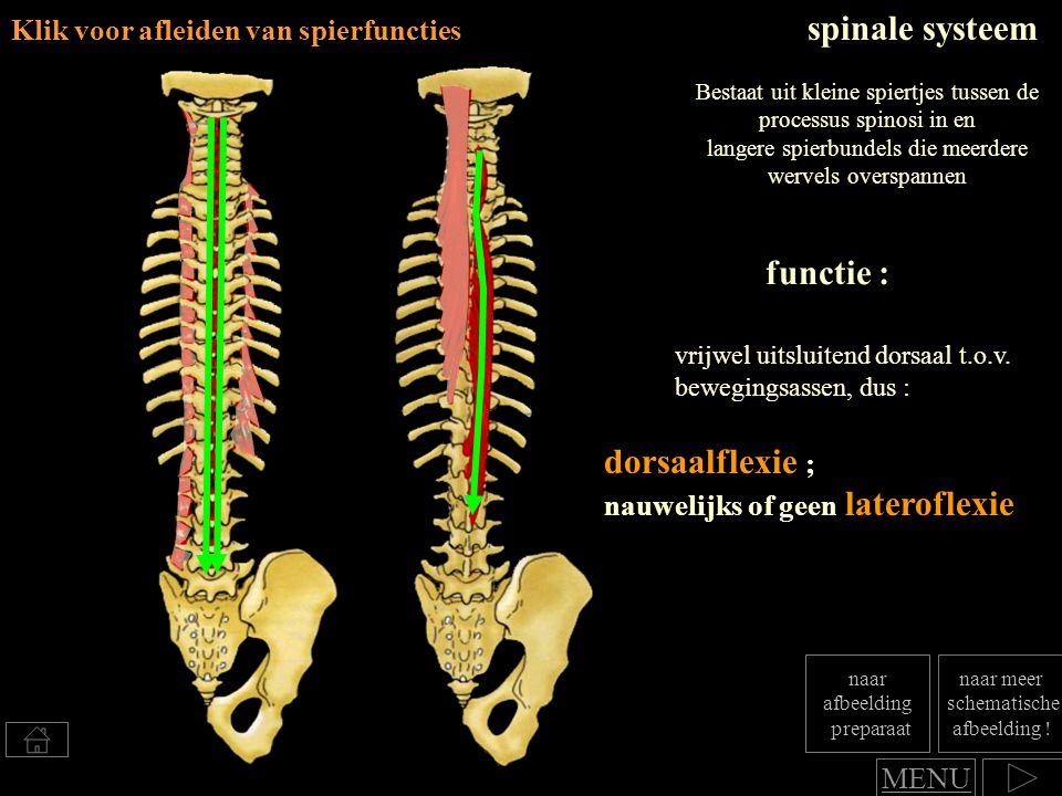dorsaalflexie ; nauwelijks of geen lateroflexie functie : spinale systeem vrijwel uitsluitend dorsaal t.o.v. bewegingsassen, dus : Bestaat uit kleine