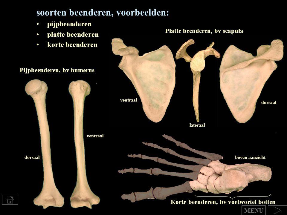 Korte beenderen, bv voetwortel botten boven aanzicht soorten beenderen, voorbeelden: pijpbeenderen platte beenderen korte beenderen MENU Pijpbeenderen