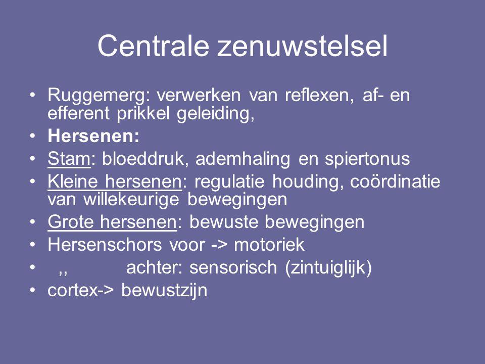 Centrale zenuwstelsel Ruggemerg: verwerken van reflexen, af- en efferent prikkel geleiding, Hersenen: Stam: bloeddruk, ademhaling en spiertonus Kleine