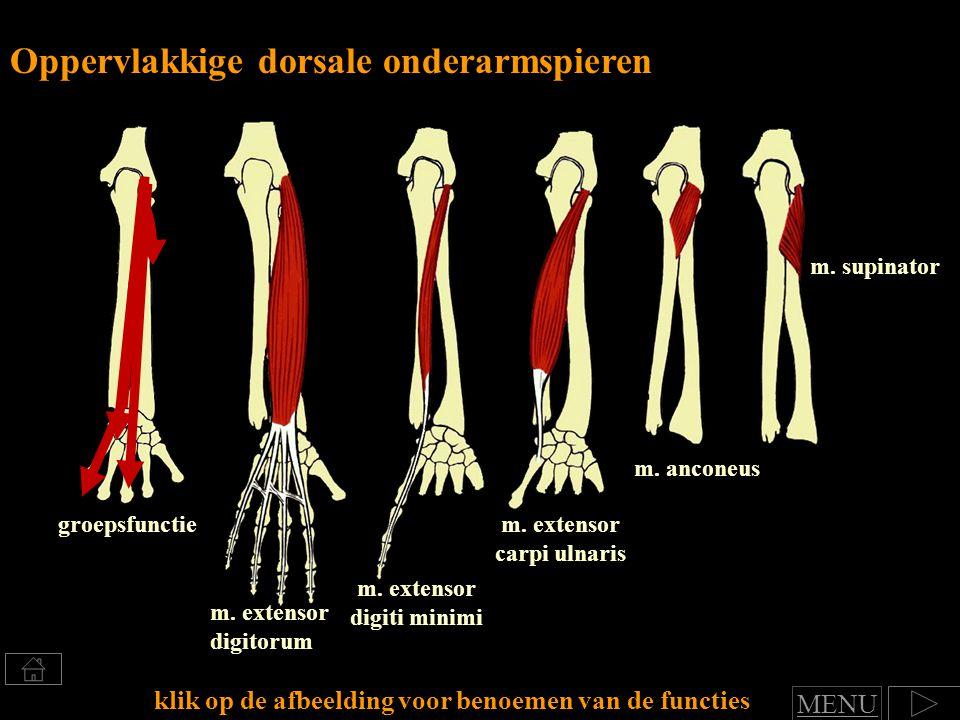 m.supinator m. extensor digitorum Oppervlakkige dorsale onderarmspieren m.