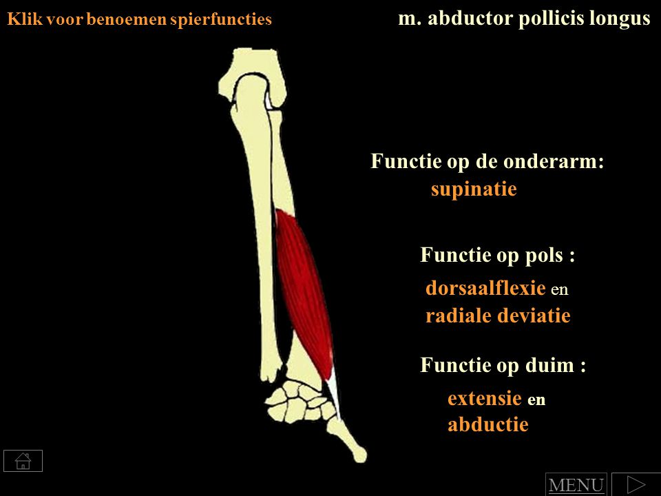m. abductor pollicis longus Klik voor benoemen spierfuncties Functie op de onderarm: supinatie Functie op pols : dorsaalflexie en radiale deviatie Fun