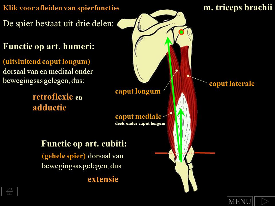 Klik voor afleiden van spierfuncties m.triceps brachii Functie op art.