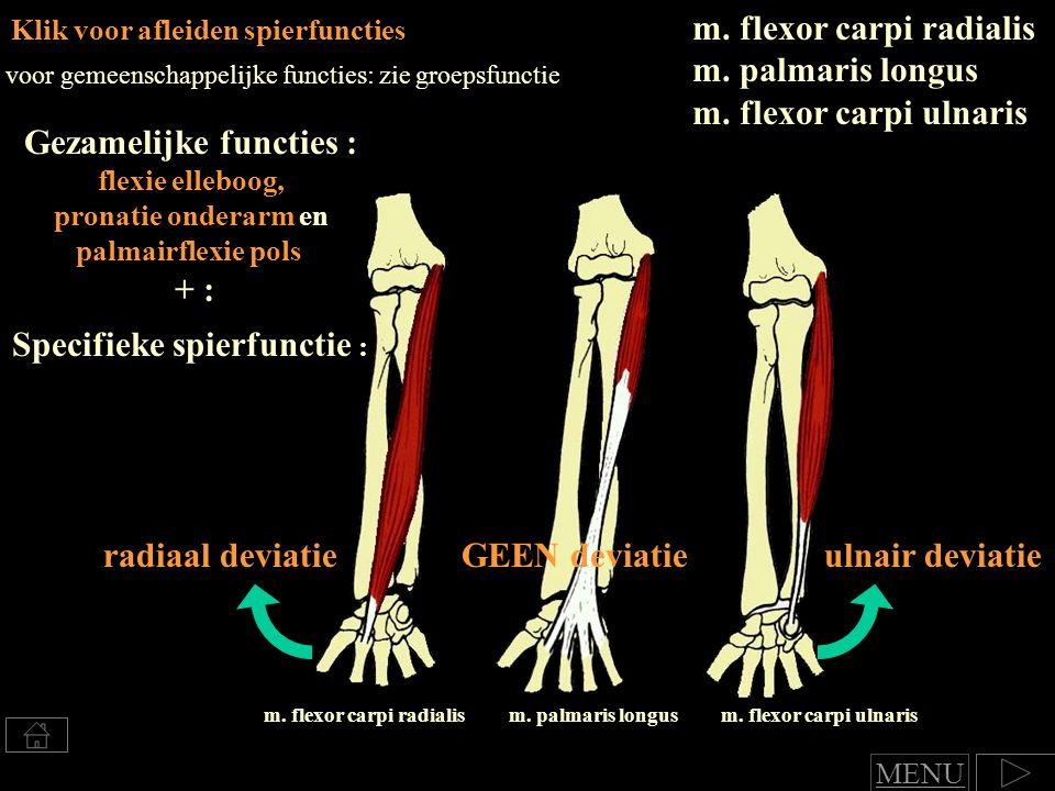 Klik voor afleiden spierfuncties m.flexor carpi radialis m.