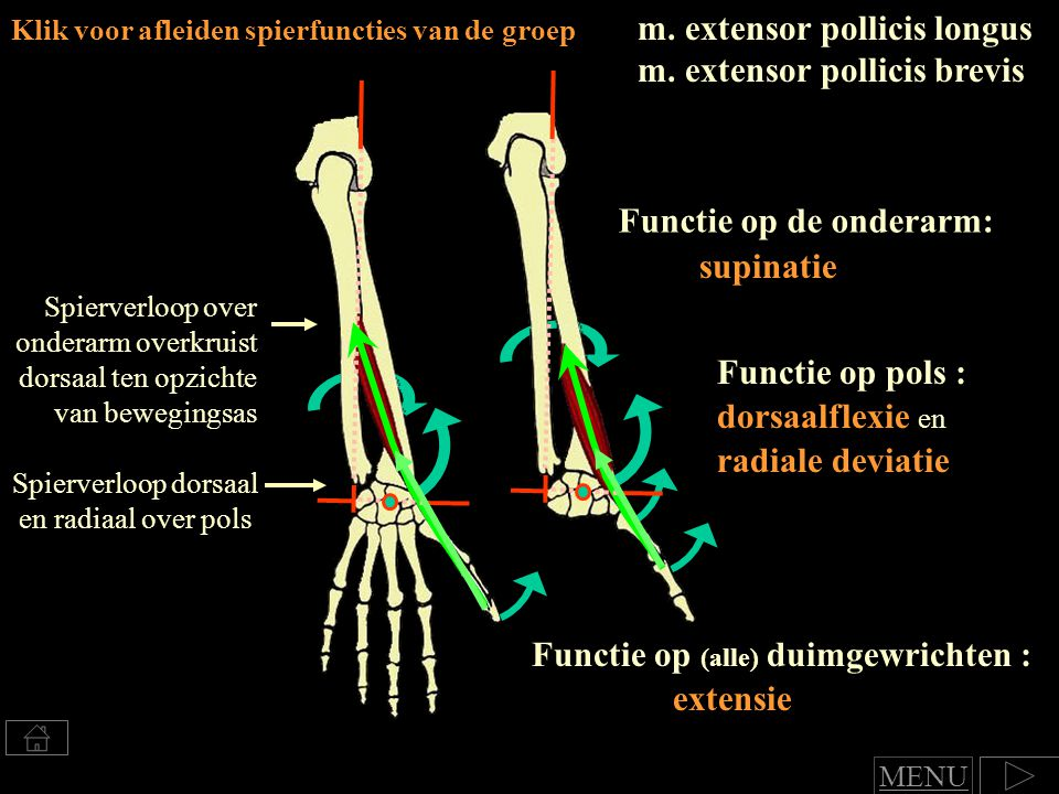 m.extensor pollicis longus m.