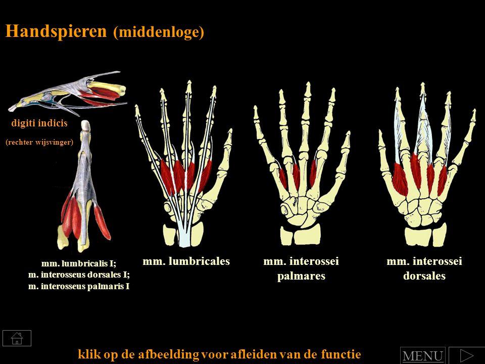 mm.interossei dorsales mm. interossei palmares mm.