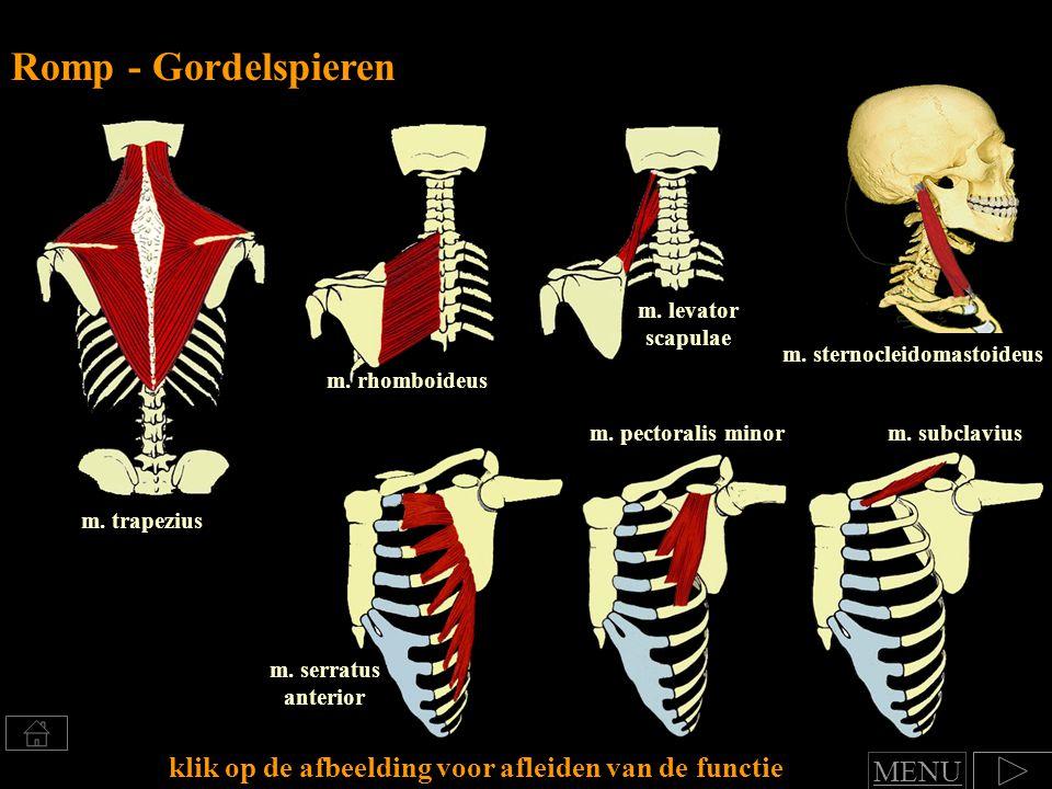 m.rhomboideus m. levator scapulae m. trapezius Romp - Gordelspieren m.