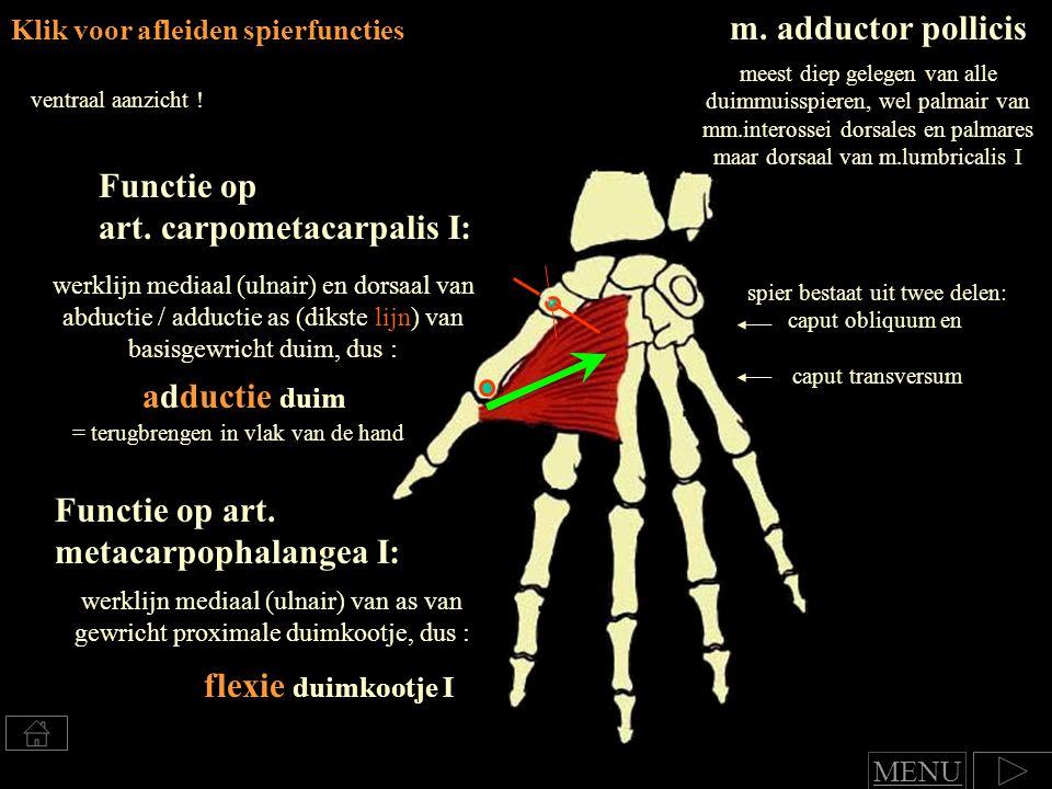 Klik voor afleiden spierfuncties m.adductor pollicis ventraal aanzicht .