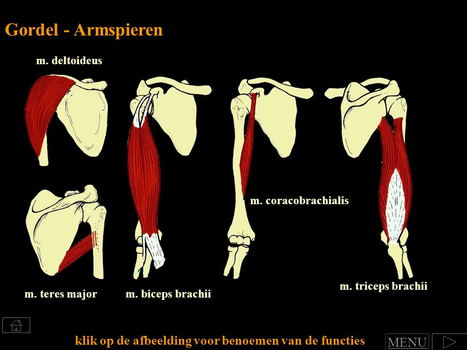 m.biceps brachiim. teres major m. triceps brachii m.