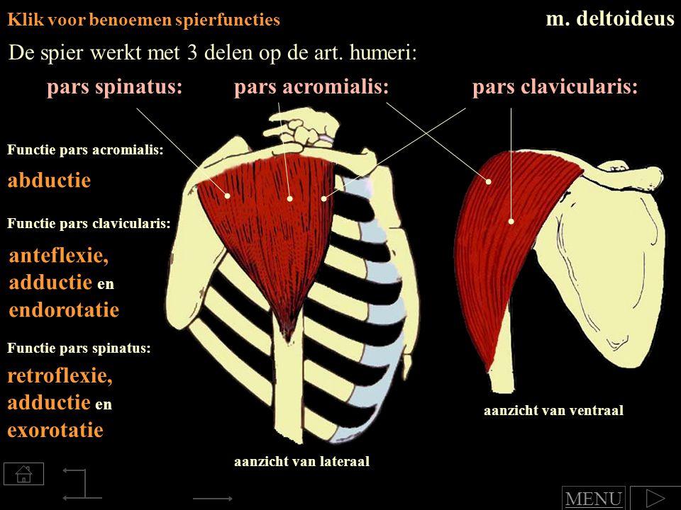pars spinatus: Klik voor benoemen spierfuncties m.