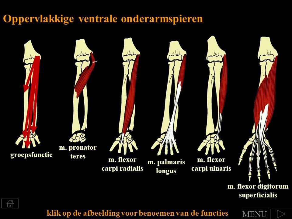 m.flexor digitorum superficialis m. palmaris longus Oppervlakkige ventrale onderarmspieren m.