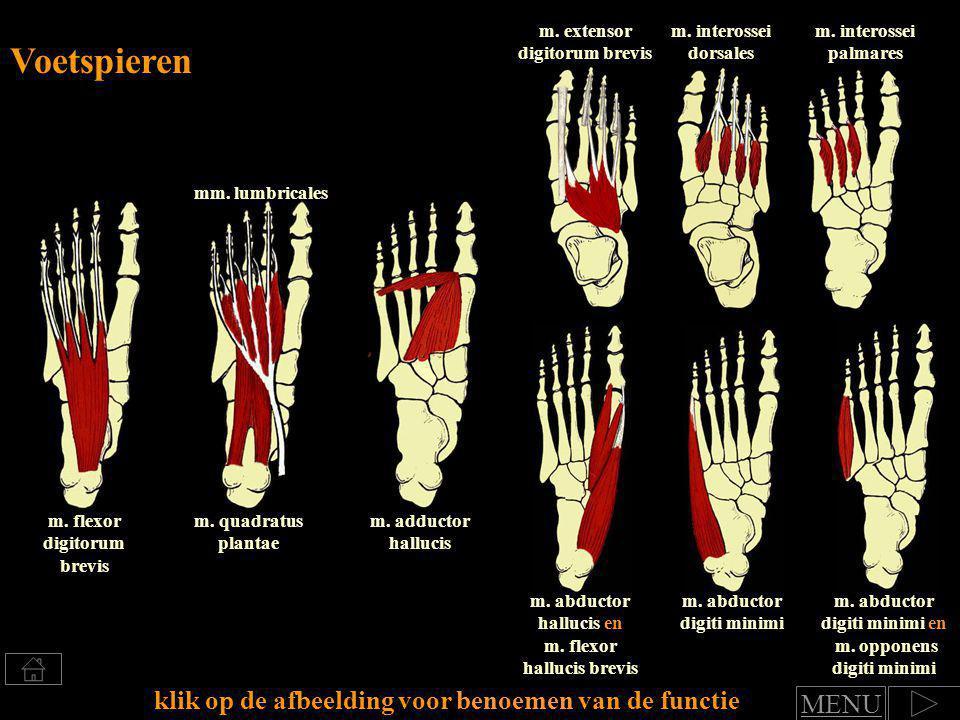 Klik voor benoemen van spierfuncties functie teen en middenvoetgewrichten: flexie tenen en plantairflexie in de voet (= voetboog versterken!) m.