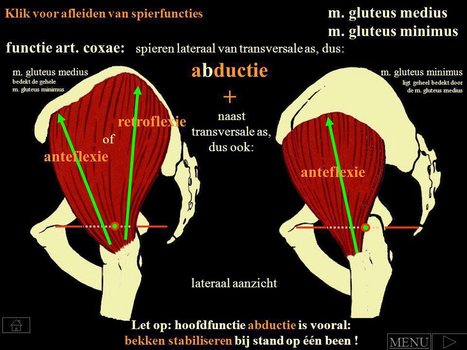 m.pectineus Mediale heup en bovenbeenspieren klik op de afbeelding voor afleiden van de functie m.