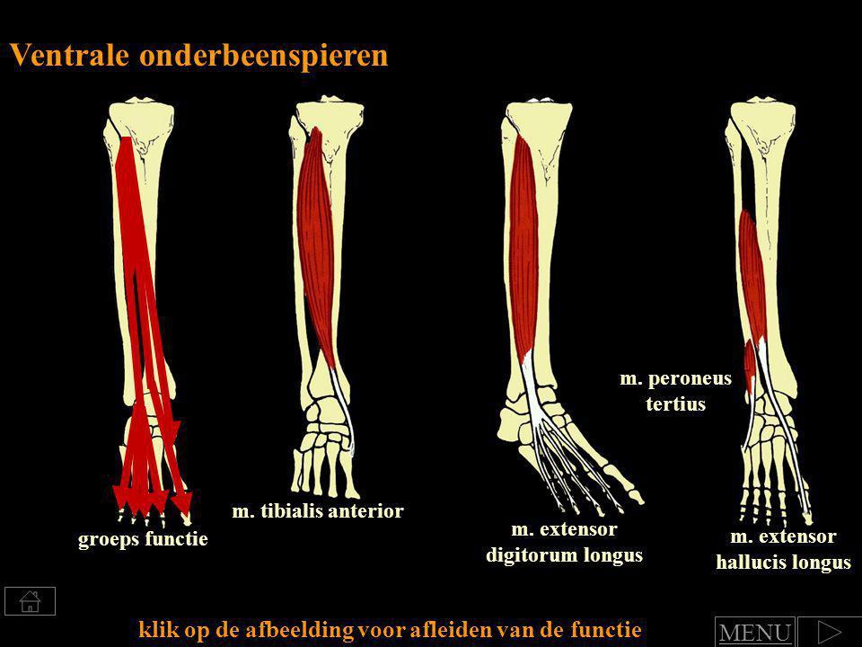 Klik voor afleiden van spierfuncties Groep: Ventrale onderbeenspieren functie art.