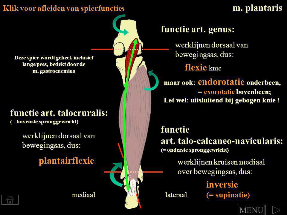 m.tibialis posterior m.