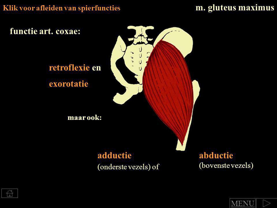 retroflexie en adductie art.genus: endorotatie Klik voor benoemen van spierfuncties m.