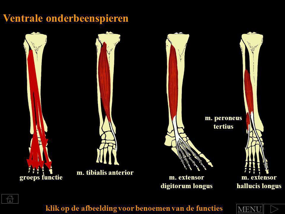 Klik voor benoemen van spierfuncties Groep: Ventrale onderbeenspieren functie art.