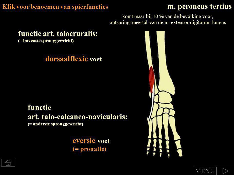 m.soleusm. gastrocnemius Oppervlakkige dorsale onderbeenspieren m.