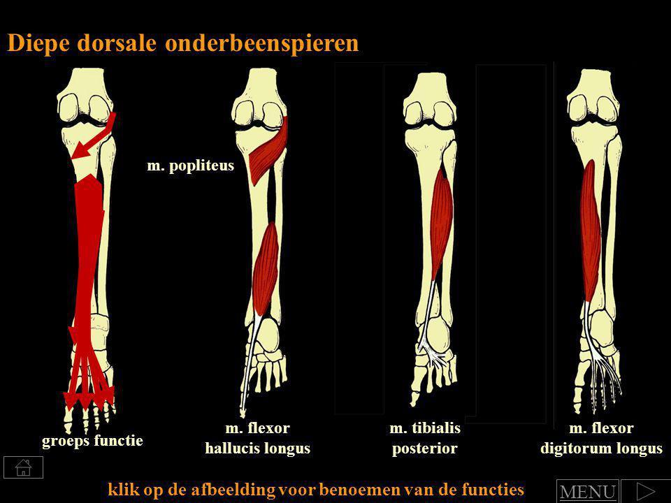 Klik voor benoemen van spierfuncties Groep: Diepe dorsale onderbeenspieren functie art.