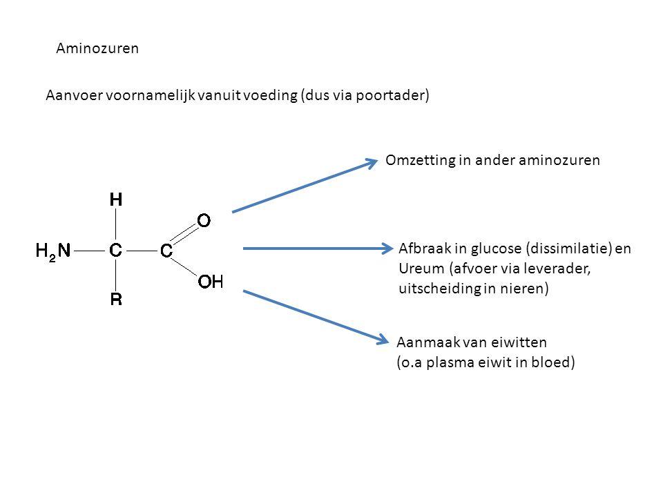 Aminozuren Aanvoer voornamelijk vanuit voeding (dus via poortader) Omzetting in ander aminozuren Afbraak in glucose (dissimilatie) en Ureum (afvoer vi