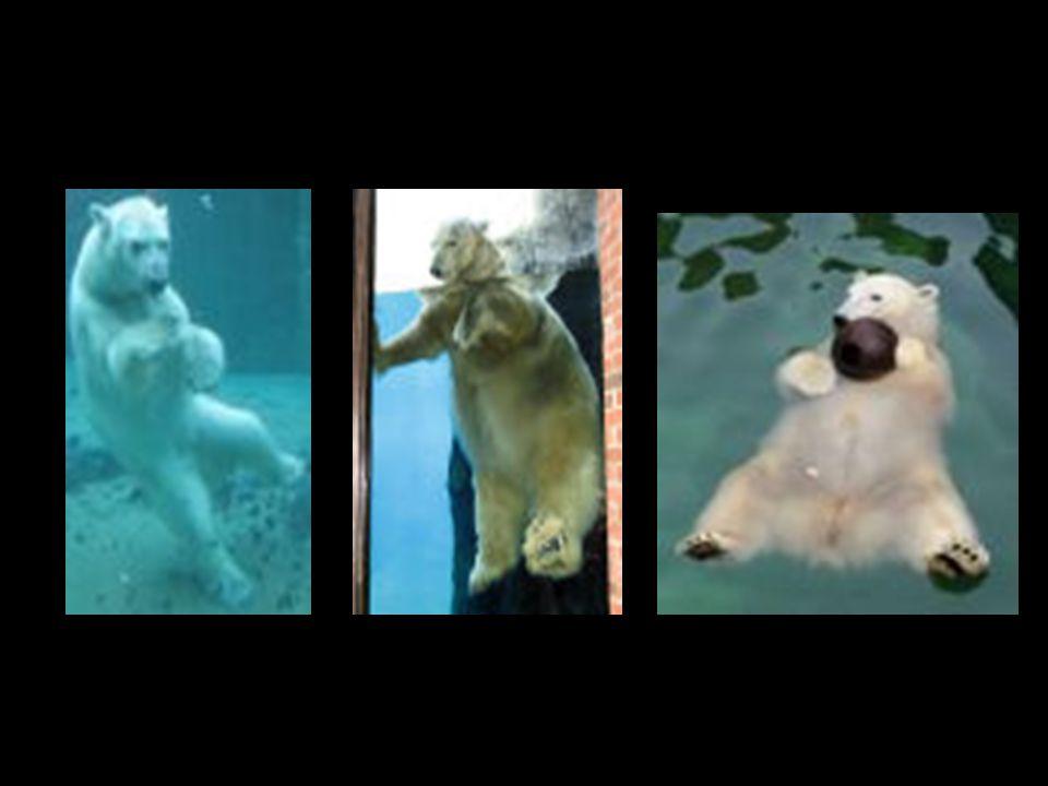 IJsberen voelen zich thuis rond het noordpoolgebied op drijvende ijsschotsen en in open zee. De ijsbeer kan van 250 kg tot 700 kg wegen. Dankzij de zw