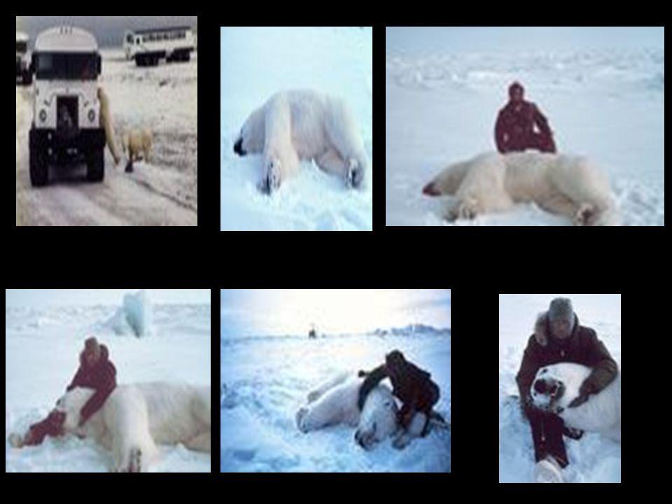 Het mannetje en het vrouwtje gaan jagen, maar in de winter blijft het vrouwtje bij de kleine ijsbeertjes en het mannetje gaat alleen jagen. De winter