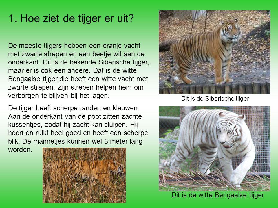 1. Hoe ziet de tijger er uit? De meeste tijgers hebben een oranje vacht met zwarte strepen en een beetje wit aan de onderkant. Dit is de bekende Siber