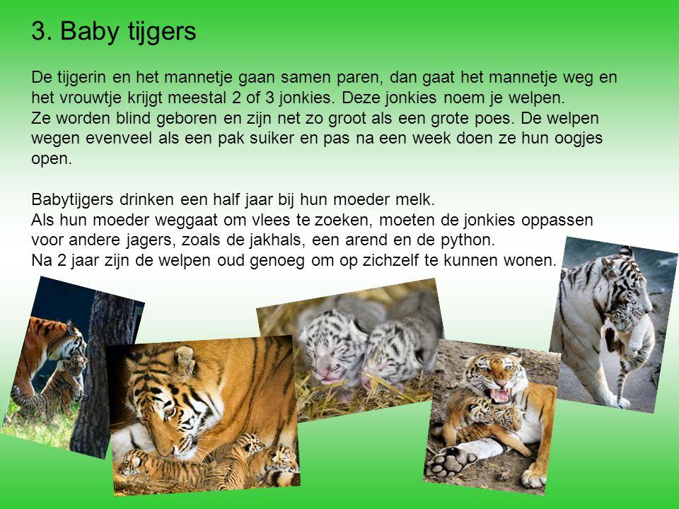 3. Baby tijgers De tijgerin en het mannetje gaan samen paren, dan gaat het mannetje weg en het vrouwtje krijgt meestal 2 of 3 jonkies. Deze jonkies no