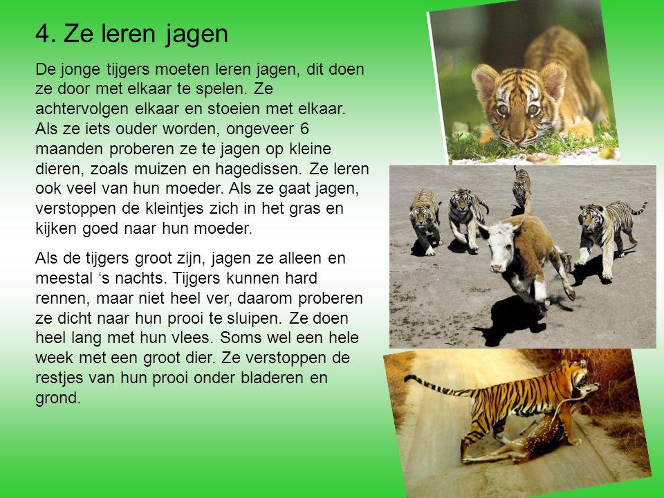 4. Ze leren jagen De jonge tijgers moeten leren jagen, dit doen ze door met elkaar te spelen. Ze achtervolgen elkaar en stoeien met elkaar. Als ze iet